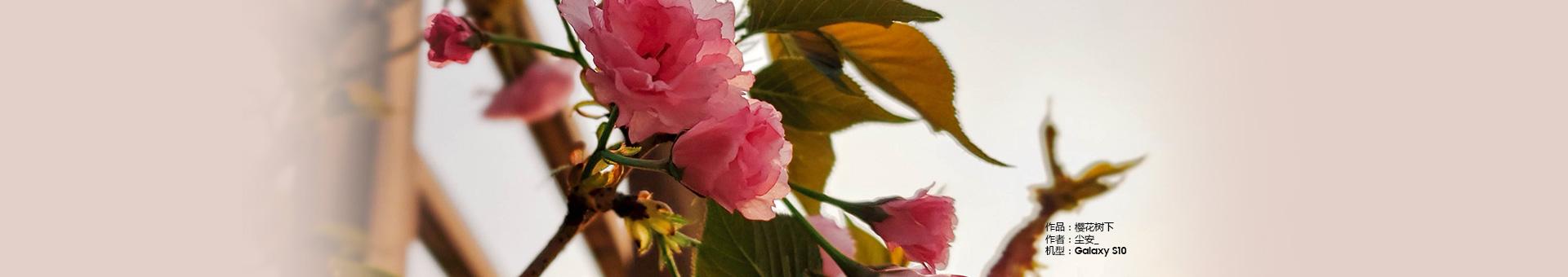 【阳光的味道】+樱花树下