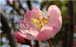 娇滴的海棠花