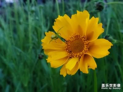 河边的金鸡菊