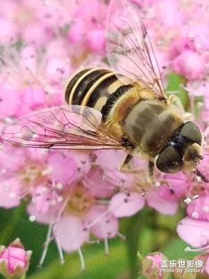 花花草草之 绣线菊和蜂