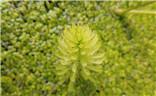 花花草草之 浮萍与鼠尾草