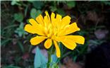 美丽大方的百日菊