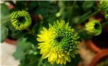 【你眼中的美景】+家种的菊花2