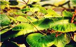 [初冬印象]+初冬里的火龙果