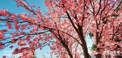大理的樱花