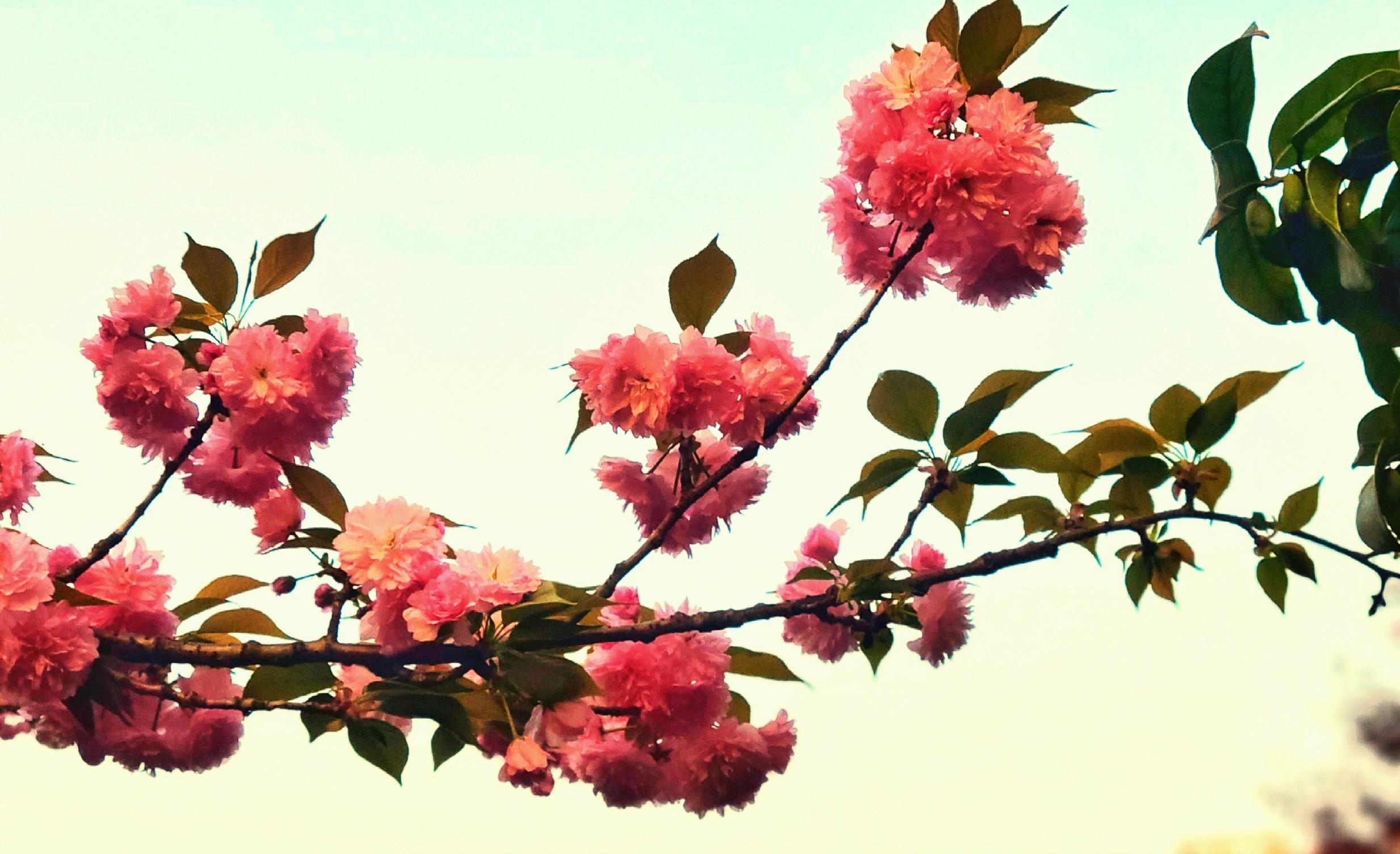 [春花烂漫]+暮色樱花