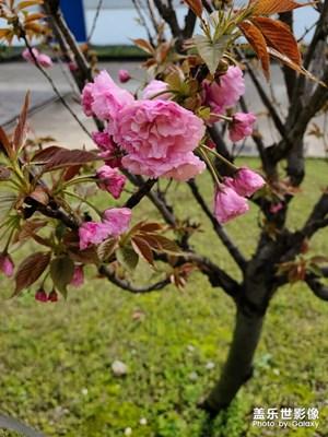 公司里的樱花🌸