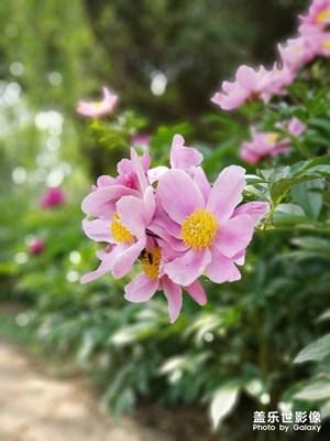 芍药花(2)