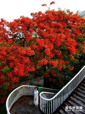 红的温度,广州红红火火海印桥旁的凤凰花
