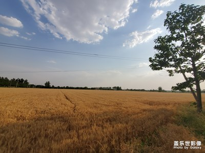 金黄的麦子