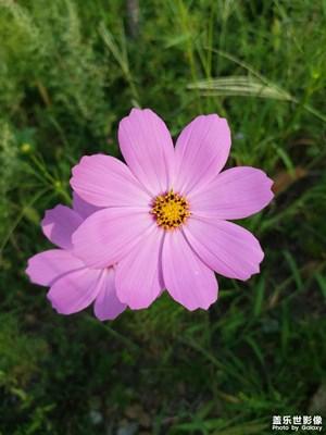 【随拍的乐趣】+扫帚梅花