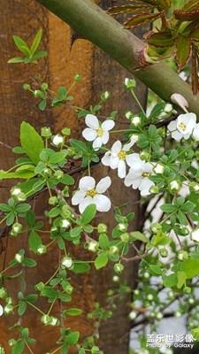 忽如一夜春风来·千树万树梨花开