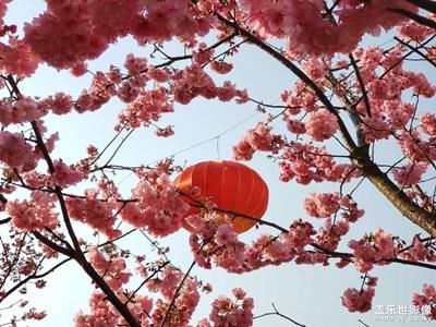 最美不过樱花