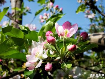 【新春星色彩】+苹果花开