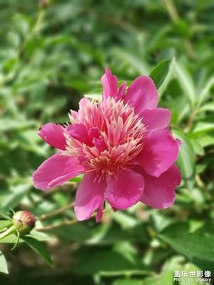 芍药花(2-1)