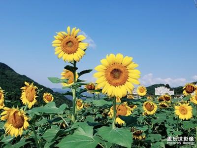 【自然之美】+向日葵